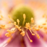 Japanese Anemone close up