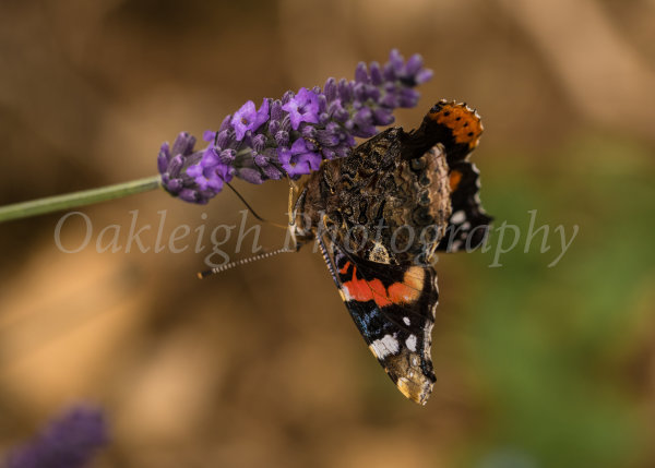 Red Admiral on Lavender