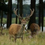 Red deer eating