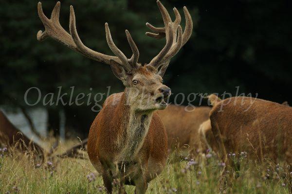 Red deer calling
