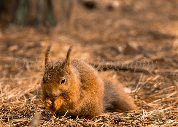 Red squirrel munching