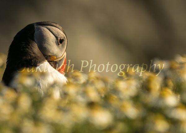 Skomer Island Puffin in daisies