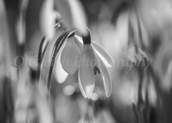 Snowdrops in black and white