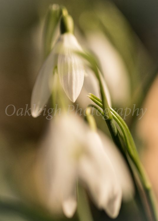 Snowdrops together