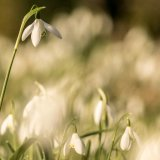 Snowdrops standing tall