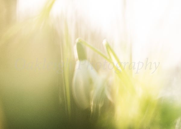 Snowdrops blowing in the breeze
