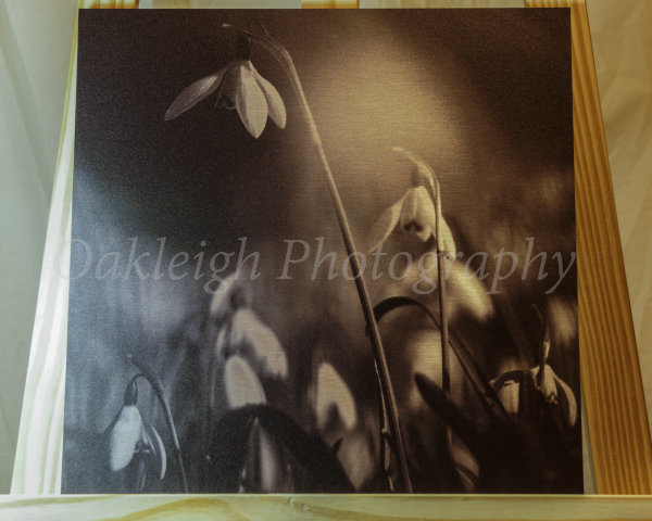Sublime Snowdrops - printed on aluminium