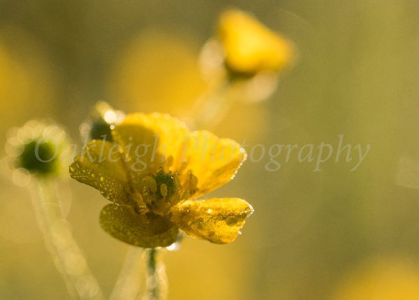 Buttercup morning