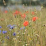 Poppies and cornflowers meadow