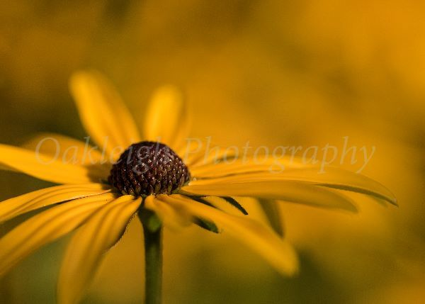 Rudbeckia close up