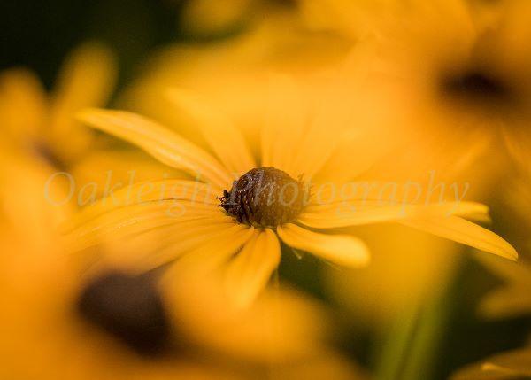 Rudbeckia blur