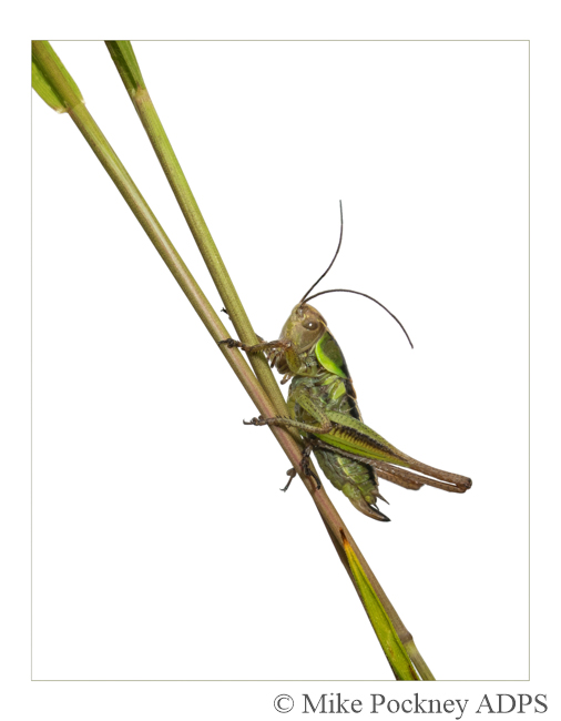 13 Bush-cricket on Grass