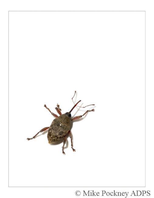 1 Weevil Study