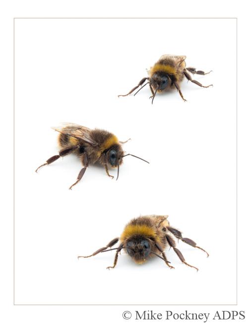 3 Bee Studies-2