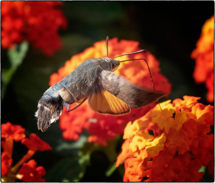 Hummingbird Hawk Moth Feeding On Lantana Blooms