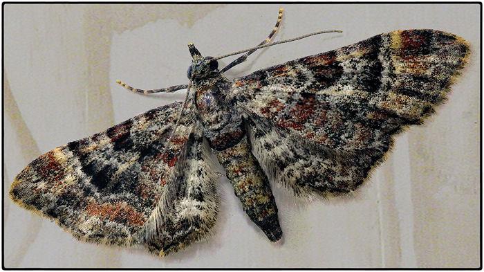 A pug moth - morphology of body scales