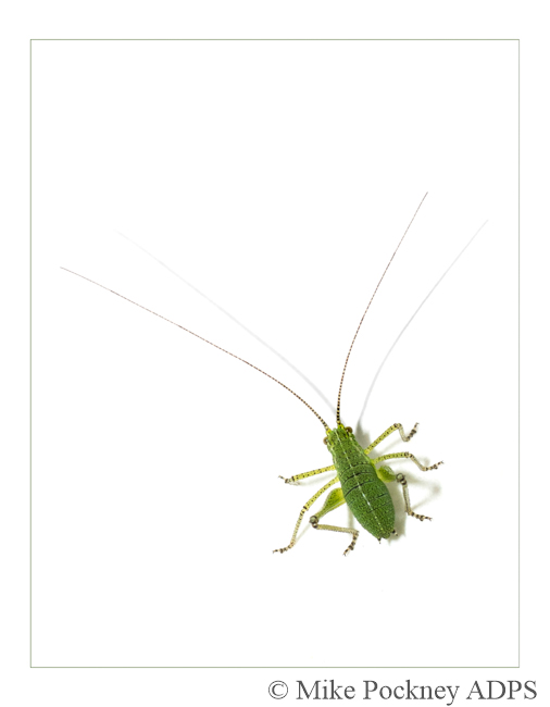 7 Speckled Bush-Cricket Study