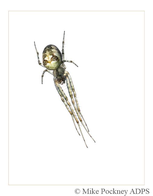 8 Orb Weaver Spider Study