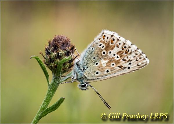 Chalkhill Blue on Knapweed