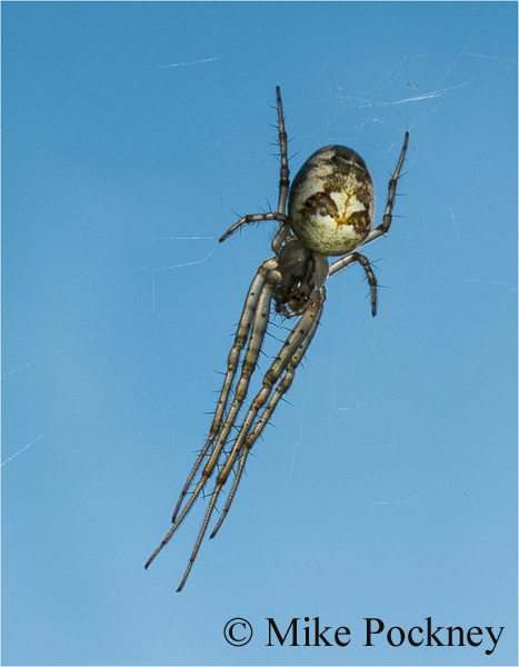 Common Orb Weaver Spider