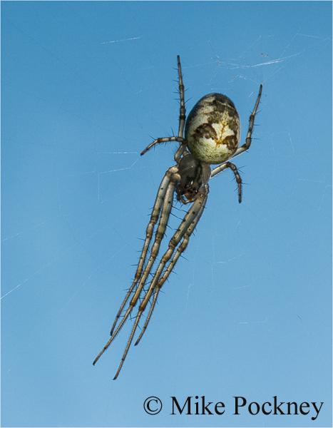 Common Orb Weaver Spider