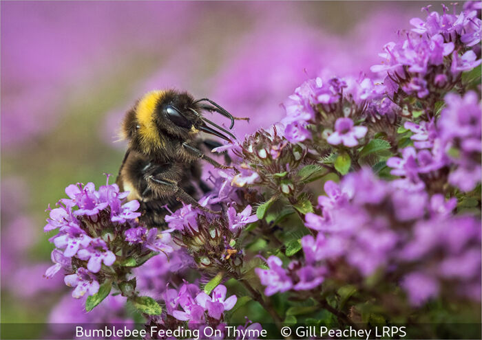 Bumblebee Feeding On Thyme
