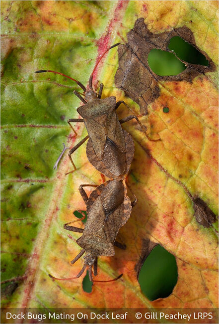 Dock Bugs Mating On Dock Leaf