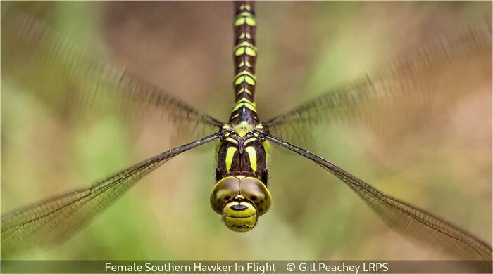 Female Southern Hawker In Flight
