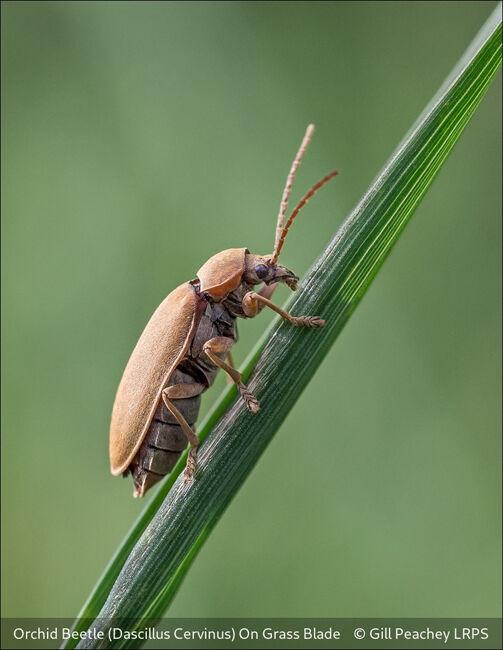 Orchid Beetle (Dascillus Cervinus) On Grass Blade
