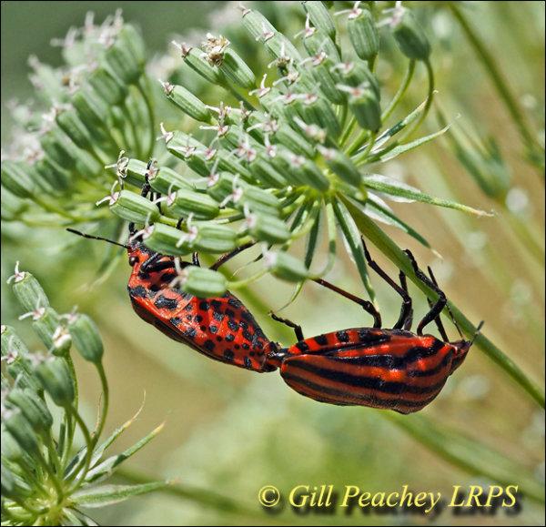 Graphosoma italicum Bugs Mating on Umbellifer