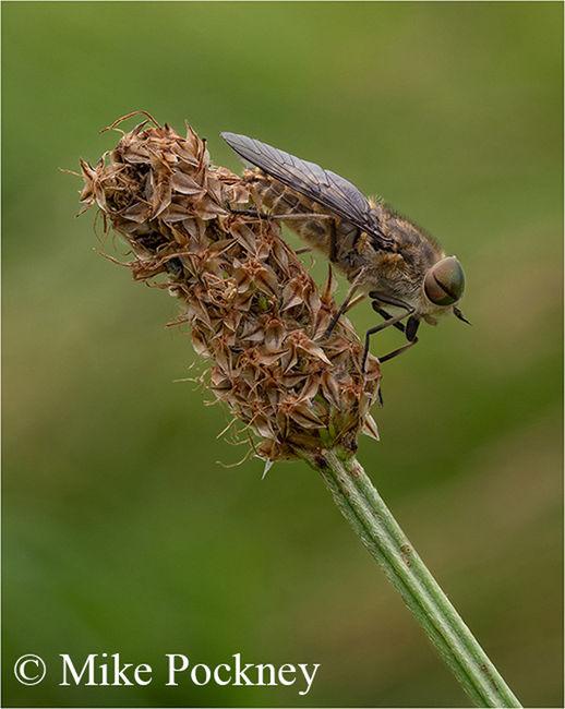 Horsefly On Ribwort Plantain