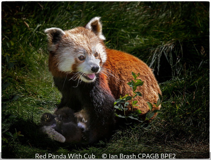 Red Panda With Cub