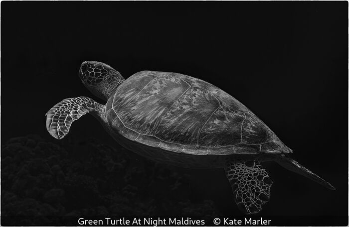 Green Turtle At Night Maldives