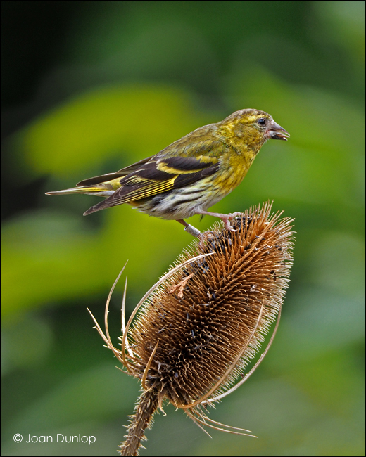Siskin on Teasel