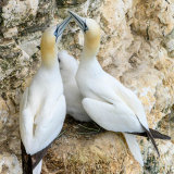 Gannets with Chick