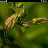 Wild Geranium in Bud