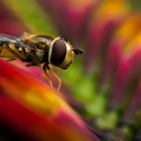Hoverfly on a Chrocosmia