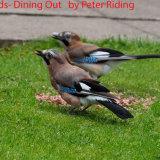 Jaybirds - Dining Out