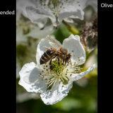 Honey Bee (Apis Mellifera) on Blackberry