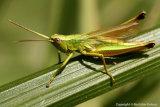 Tettigonia viridissima - Great Green Bush-Cricket