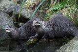 Lutra lutra - Eurasian otter