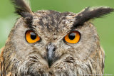 Bubo bubo - Eurasian eagle-owl