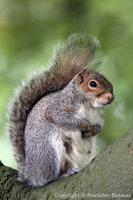 Sciurus carolinensis - Grey squirrel