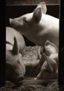 Piglets - Study 1