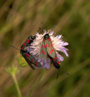 Red Spot Burnet Moths