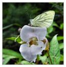 Green veined white on Himalayan balsalm