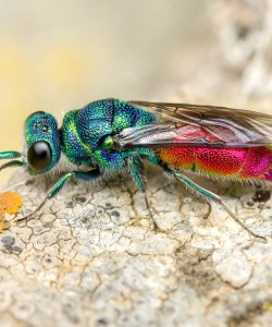 1st Ruby Tailed Wasp