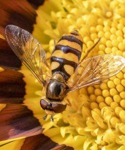 5th Hoverfly - Eupeodes Latifasciatus