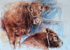 Limousin cow and calf