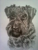 Schnauzer pet portrait from photo